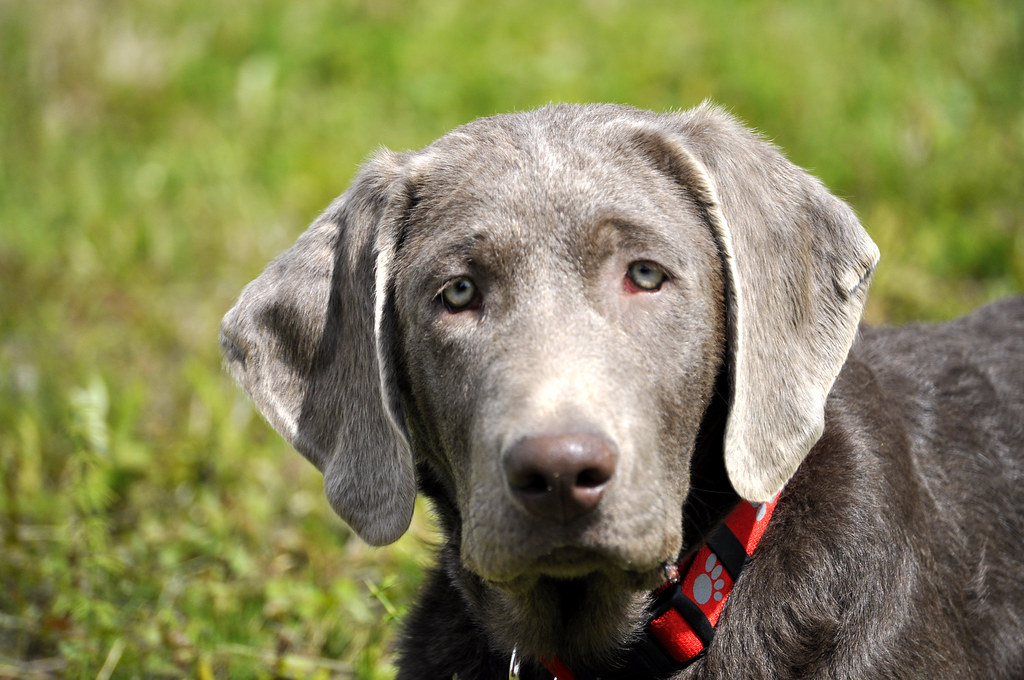 Harley our silver lab at 6 months | alaskagirl1  trying to