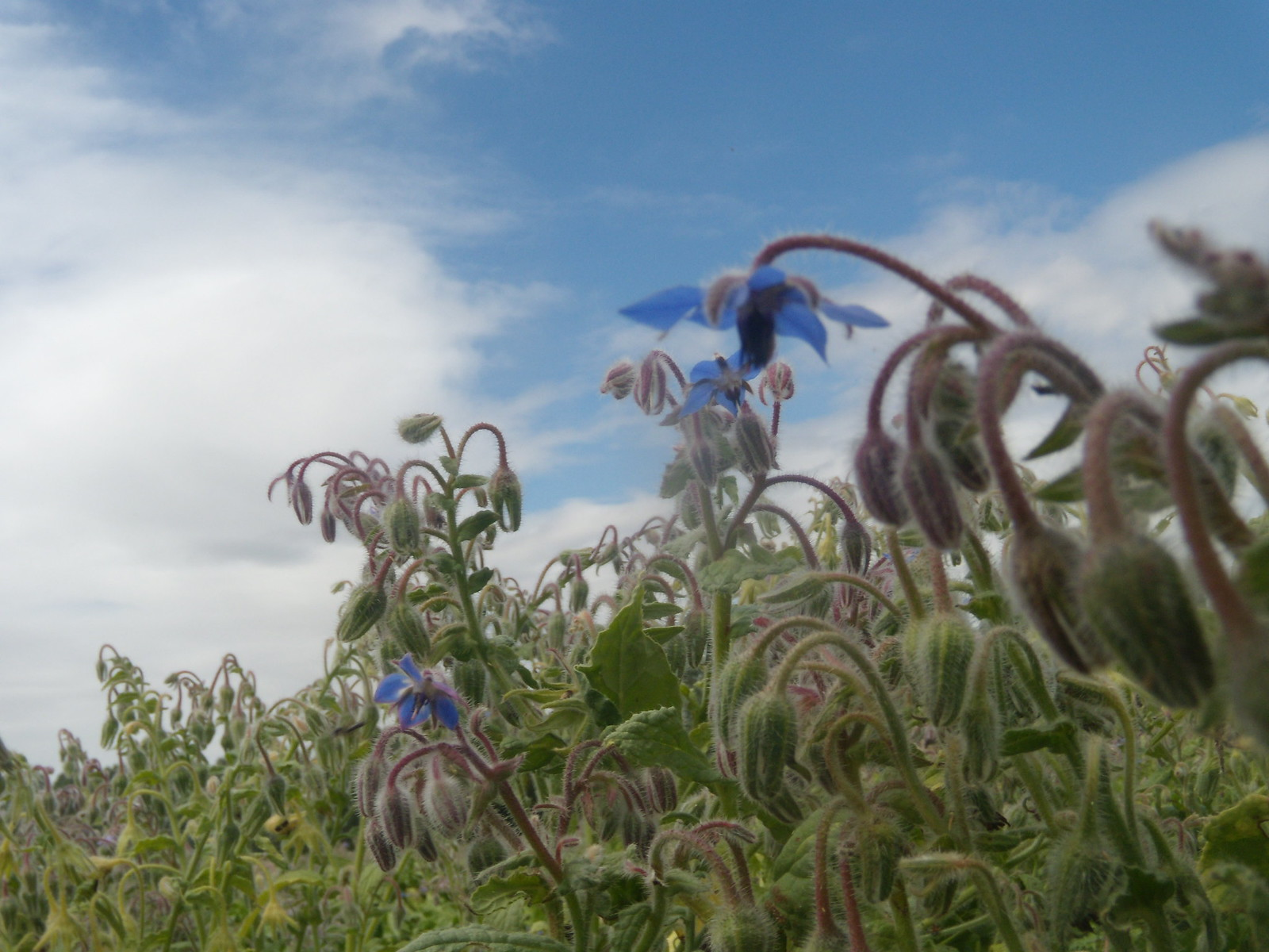 Borage /Kelvedon to White Notley