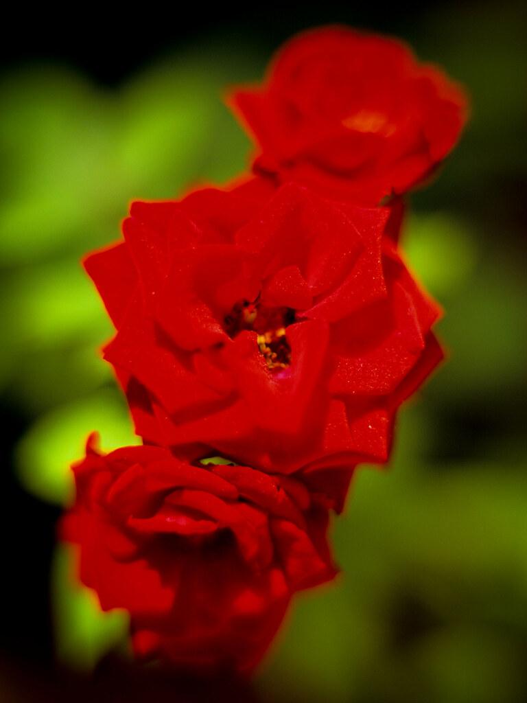 Medium Velvia Roses Rescan Coolscan 9000 ED | Mamiya M645 Pr