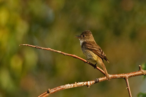 Willow Flycatcher | by mnlamberson
