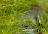 White-browed Crake (Porzana cinerea) by Don Sausa