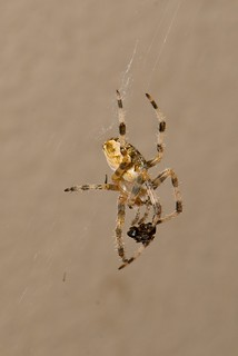 European garden spider | by Emerging Birder