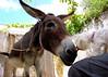 Miniature dog licks donkey...
