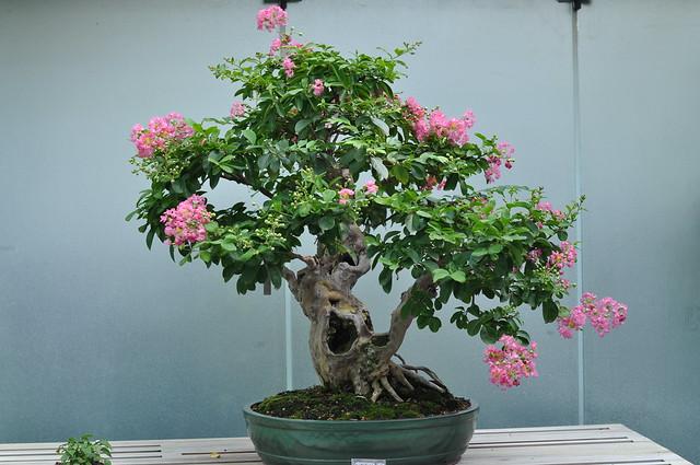 crepe myrtle bonsai