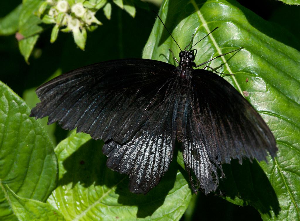 Black Morphodites