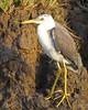 Pied Heron (Egretta picata)  juvenile by Lip Kee