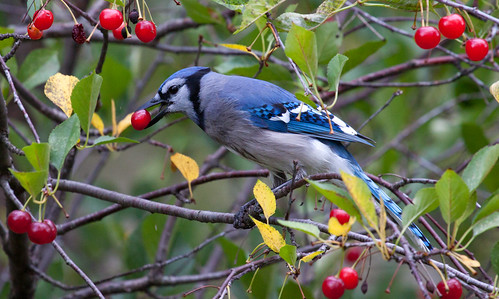 Blue Jay eating cherries from Russ's tree.