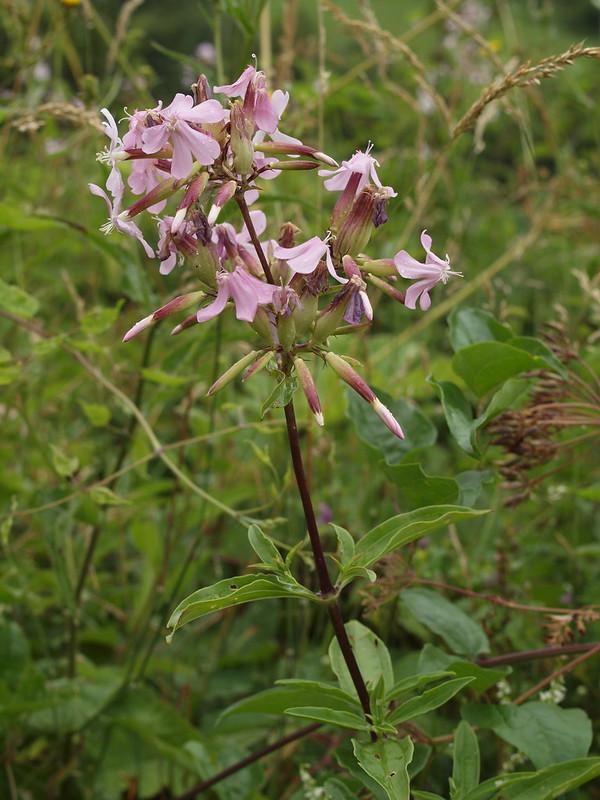 Saponaria officinalis L. - Soapwort