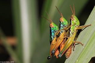 Grasshopper's  3-some   by gbohne