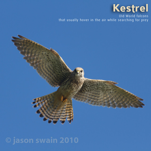 Kestrel - Dictionary of Image