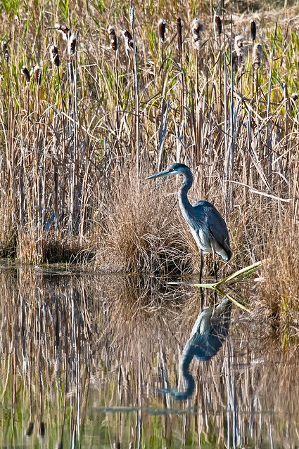 Great Blue Heron Searching...