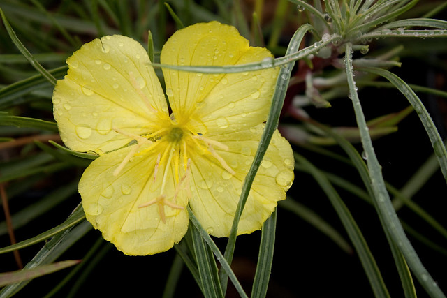 Oenothera fremontii 'Shimmer'