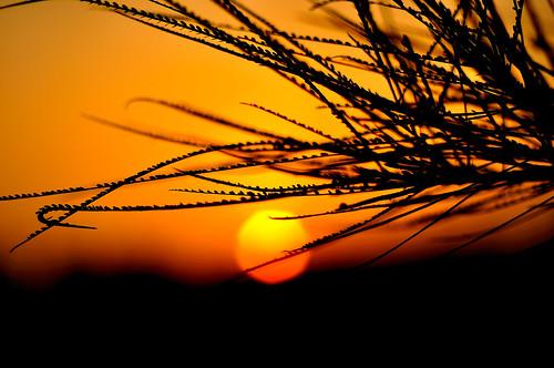 sunset orange tree silhouette 50mm nikon bokeh branches d90 14d