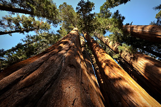 Giant Sequoias, along the Crescent Meadow Trail | by bumeister1