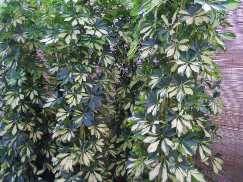 Schefflera arboricola 'Gold Capella' 4