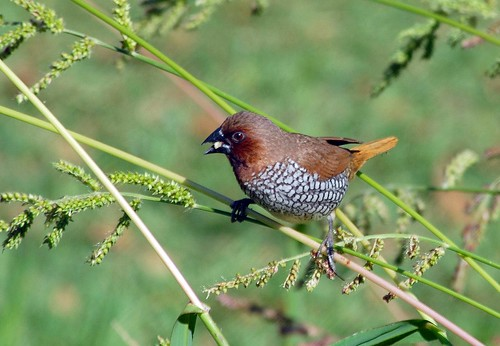 Nutmeg Mannikin | by birding4ever