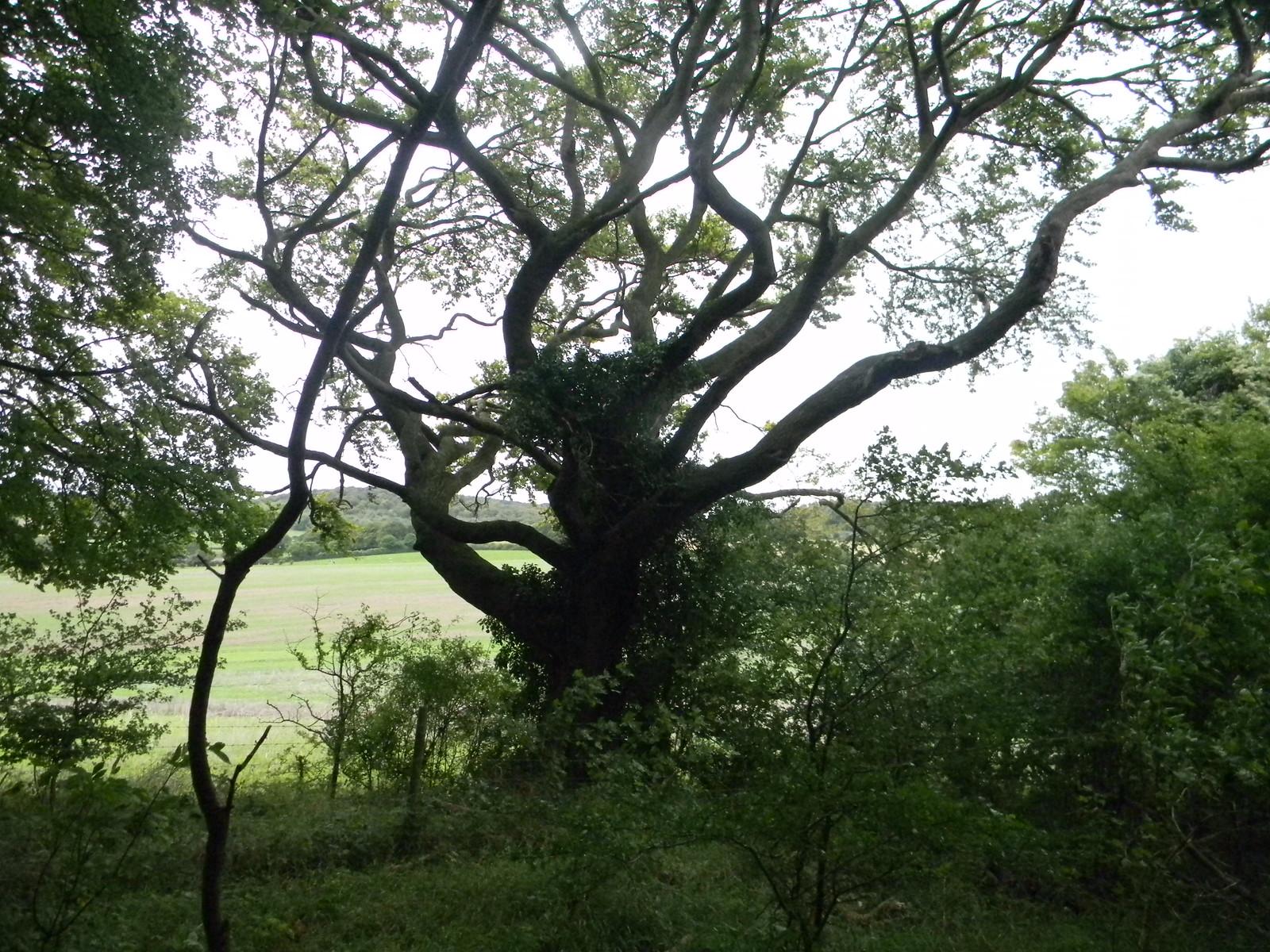 Snaky tree Saunderton Circular via Bledow