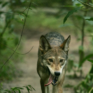 Endangered red wolf (Canis rufus) | by USFWS Endangered Species