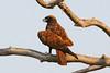 Wahlberg's Eagle  (Hieraaetus wahlbergi) by Ian N. White