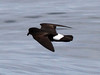 Storm Petrel, Scilly pelagic, 8-Aug-10 by Dave Appleton