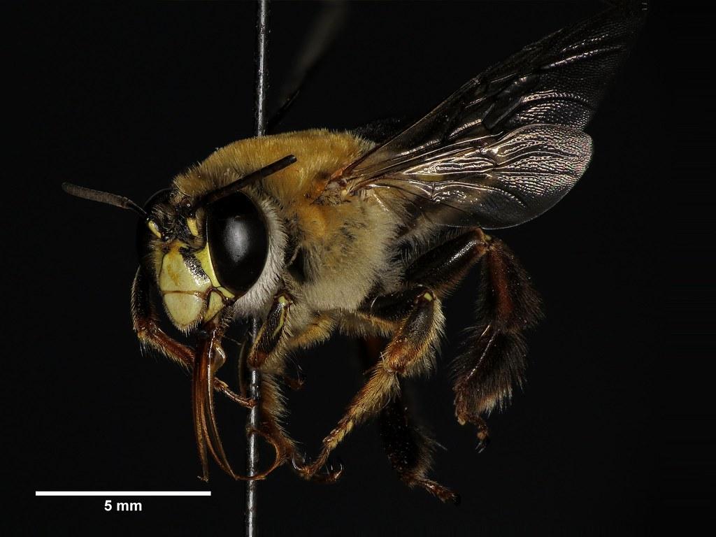 Resultado de imagen para abeja centris