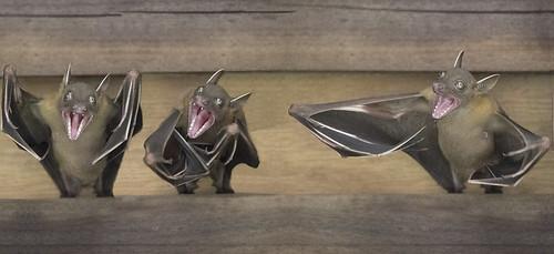 Dog faced fruit bats.