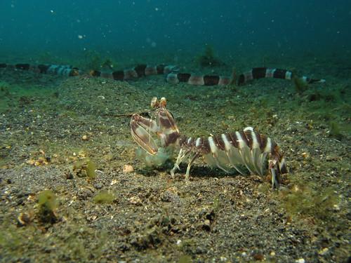 Mantis Shrimp Sole and Eel - Lysiosquillina maculata