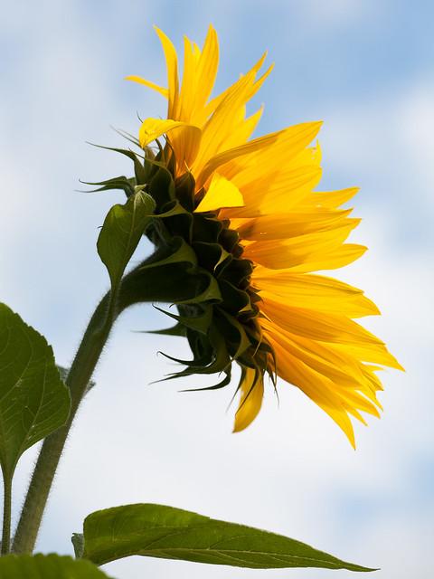 Sunflower - EF70-200mm f-4L IS USM-Canon EOS 5D-116 mm-1-200 Sek. bei f - 8,0 0 Belichtungswerte--ISO 100-IMG_6351.jpg