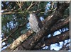 Japanese Sparrow Hawk by blueeyes_inoki