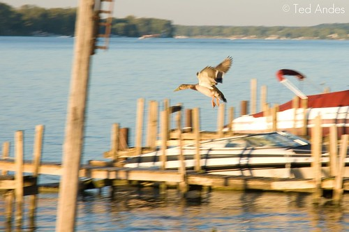 sunset duck ky sony louisville mallard ohioriver kingfish a700 16105mm