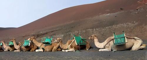 camellos   by loresui