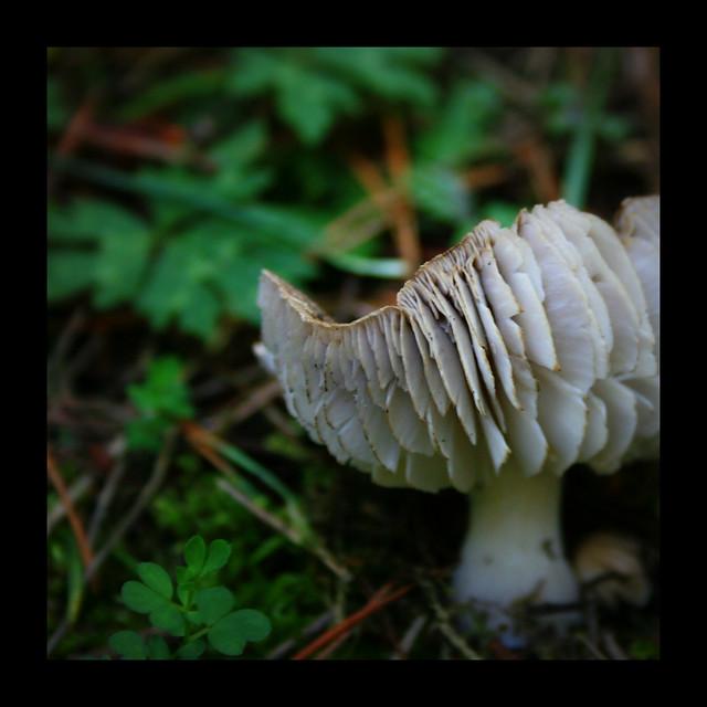 Mushroom feathers
