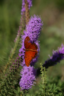 Blazing Star or Gayfeather Wildflower