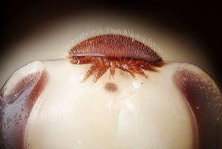 Female Varroa destructor on the head of a bee nymph | by Gilles San Martin