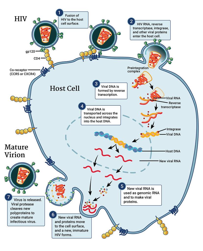 Coronavirus Replication Animation: This Infographic Illustrates