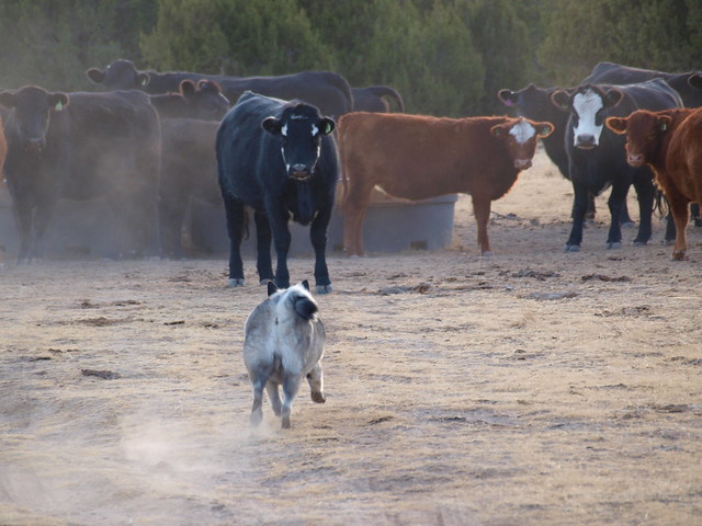CHARGING THE COWS