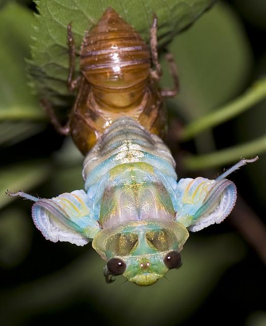 Cicada Metamorphosing