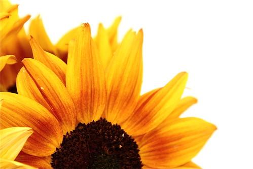 macro canon eos rebel views sunflower xs tamron 3000 18270mm