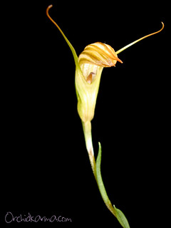 Pterostylis sp. | by orchidkarma