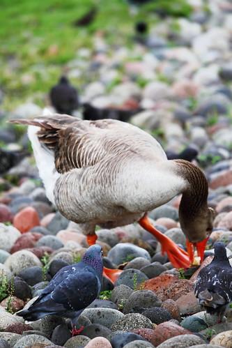 geese   by ksbuehler