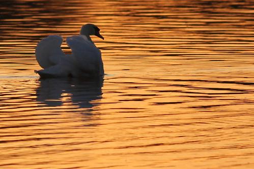 2010 09 03_Mute Swan