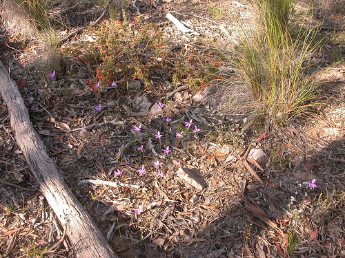 Glossodia major, Grevillea alpina, Leucopogon microphyllus and Drosera auriculata | by dhobern