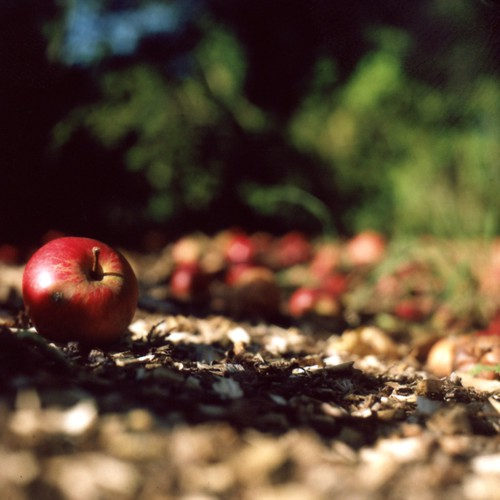 Autumn Apples | by dopiaza
