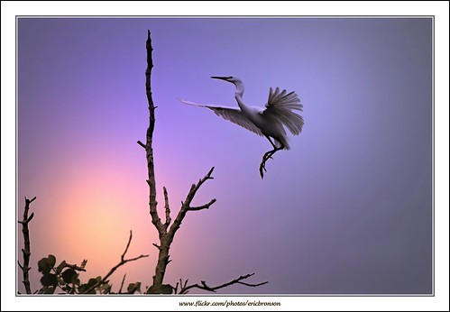 sunset bird nature canon interesting singapore little wildlife egret pasir ris aplusphoto ericbronson mygearandmepremium mygearandmebronze