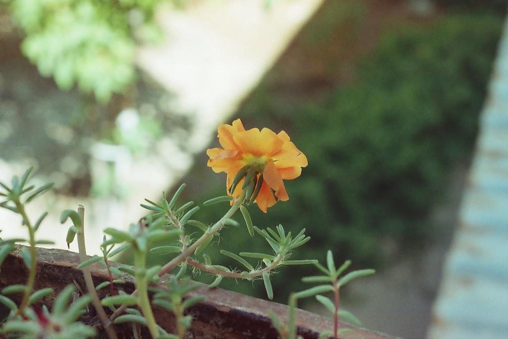 Kedi tırnağı-Portulaca Grandiflora