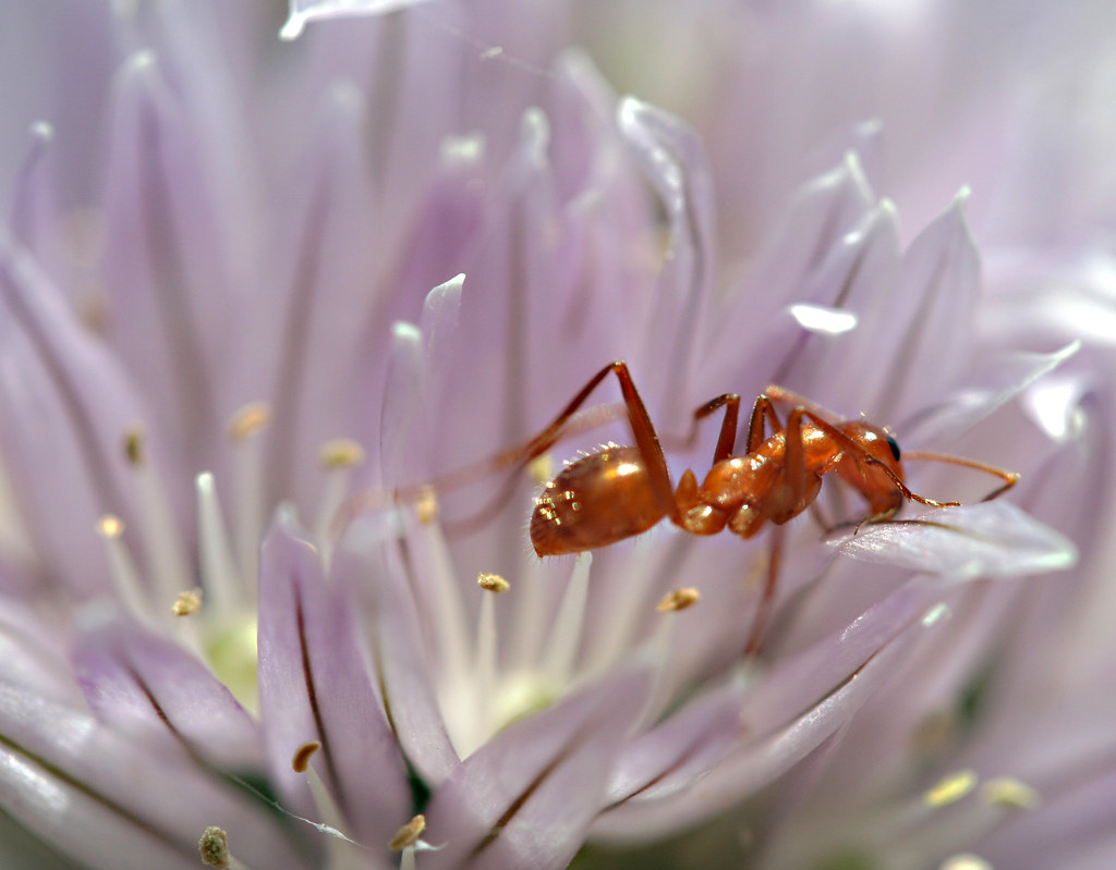 A red ant on a flower