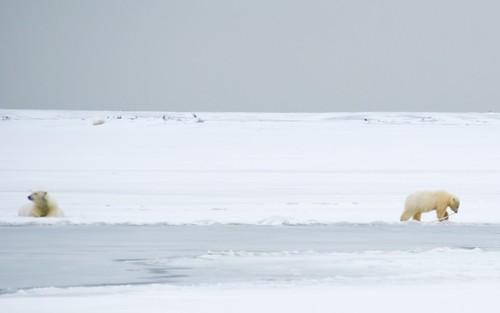 Polar Bear Fetch   Polar Bear Watching on Barter Island