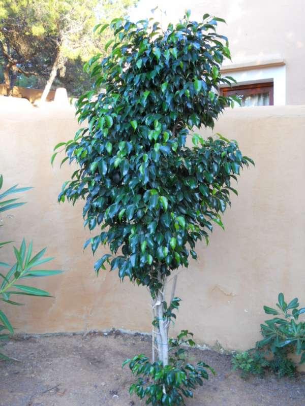 Ficus benjamina 'Crespada' v 1