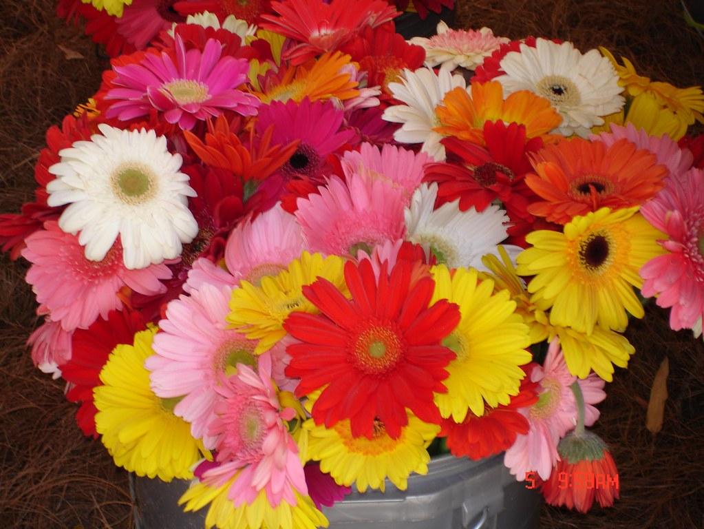 Gerberas - Exposición Feria de las Flores Orquideas, Pajar ...