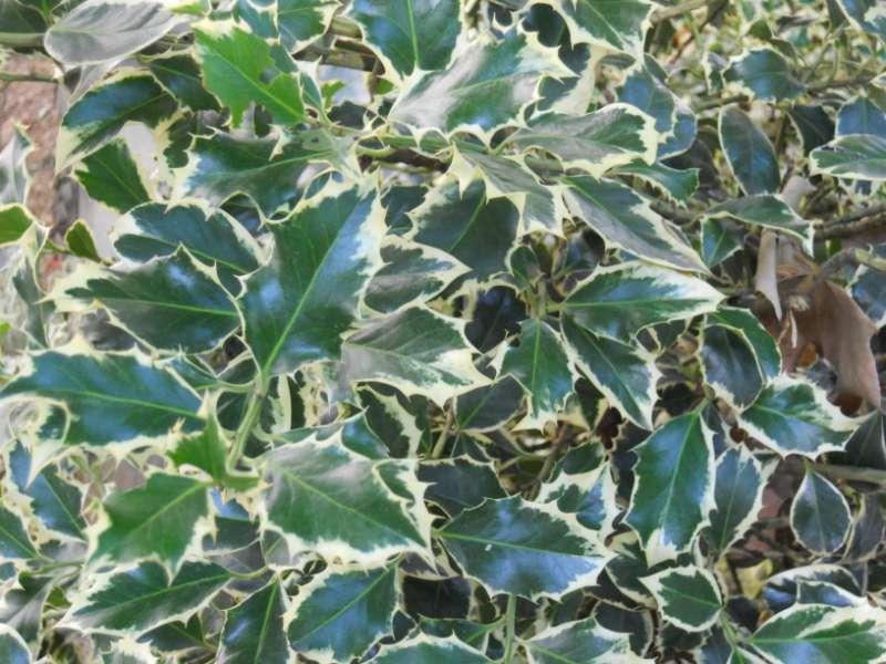 Ilex aquifolium 'Argenteomarginata' 2